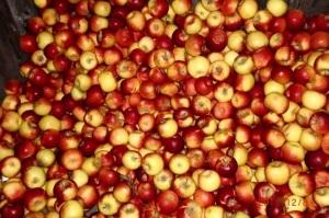 Reichliche Apfelernte in diesem Herbst