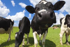 neugierige Kühe auf einer Weide