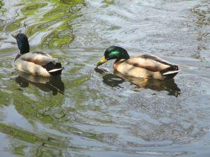 Viele Enten gibts im Teich