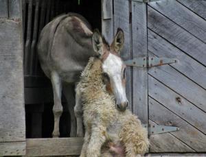 Wenn das nicht Liebe ist?? Die Eselin Carla und der Hund Sandor. Eine wahree Geschichte.