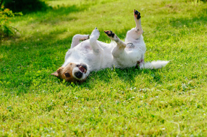 Hund wälzt sich auf dem Rasen