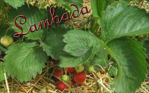 Erdbeeren 31