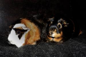 Conny und Sonny, zwei meiner Meeerschweinchen.