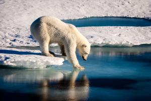 Eisbär streckt eine Tatze ins Wasser