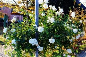Letzter Sommergruß von einem wunderschönem Rosenstrauch-Tschüß bis zum nächsten Sommer,liebe Rose