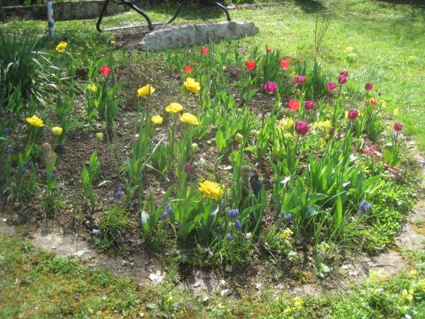 Tulpen Blüte..