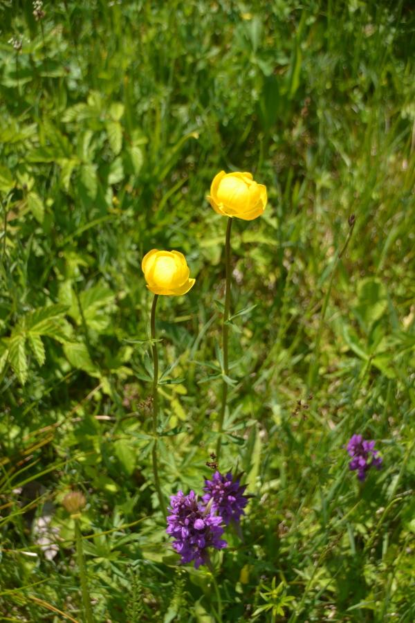 Knabenkraut und Trollblumen