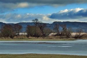 Dort hinten an der Oder,waren heute die Singschwäne auf Futtersuche