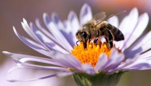 Biene auf Blume in Nahaufnahme