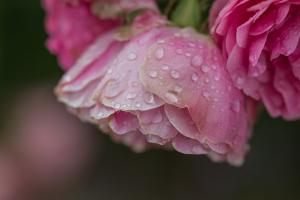 Rose mit Regentropfen in Nahaufnahme