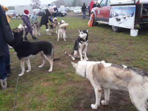 Schlittenhunde Threema (2).jpg