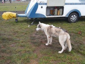 Schlittenhunde Threema (3).jpg