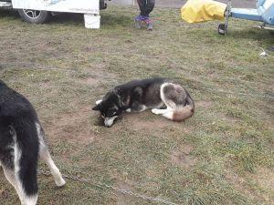 Schlittenhunde Threema (4).jpg