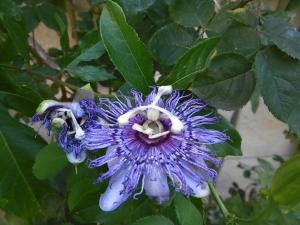 Passionsblume, eine blühte noch