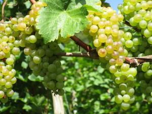 IMG_1185.JPG Herrliche Weintrauben in diesem Jahr.