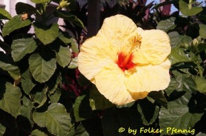 Gelber Hibiskus=Staatsblume Hawaiis