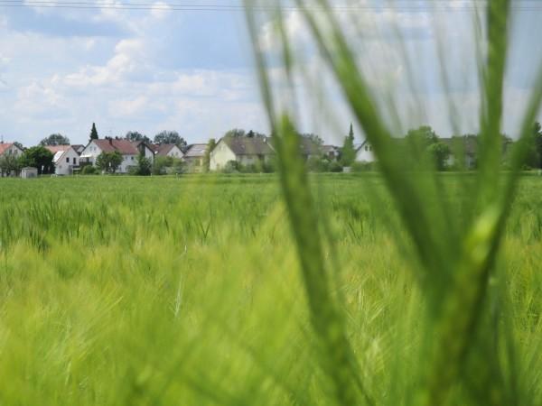 Auf der anderen Straßenseite wächst Getreide