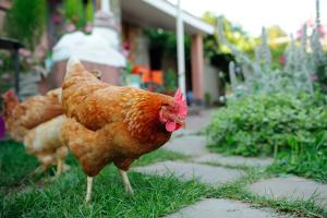 Nahaufnahme eines Huhns im Garten