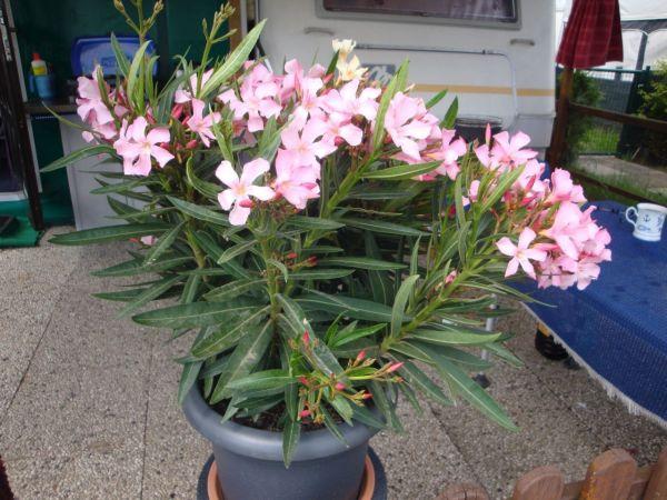 Oleander.jpg