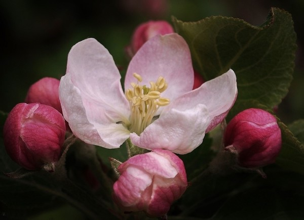 Apfelblüte 2015-8.jpg