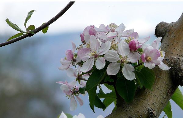Apfelblüte 2015-10.jpg