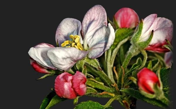 Apfelblüte 2015-12.jpg