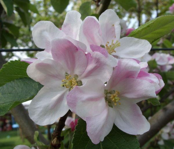 Apfelblüte 2015-14.jpg