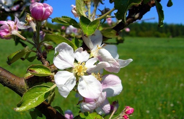 Apfelblüte 2015-15.jpg