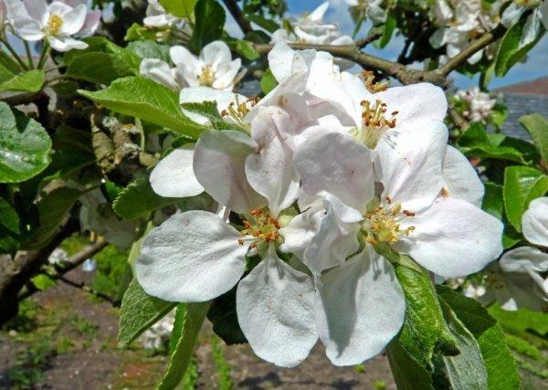 Apfelblüte 2015-17.jpg