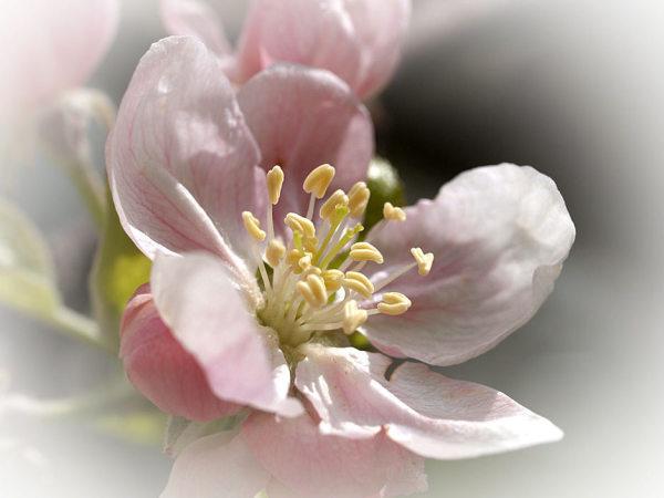Apfelblüte 2015-18.jpg
