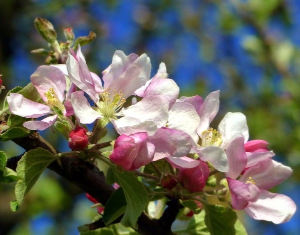 Apfelblüte 2015-24.jpg