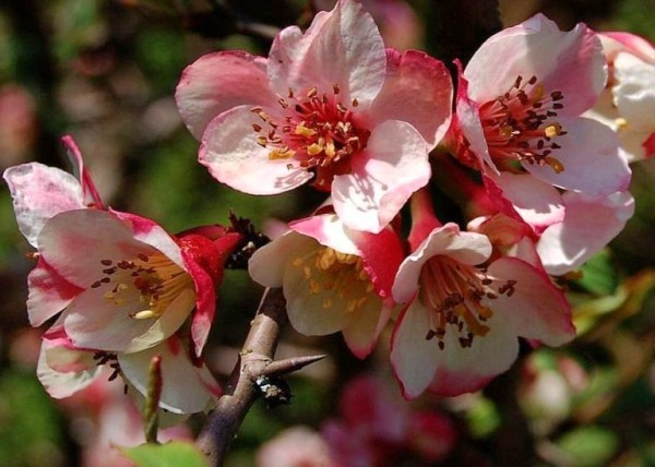 Apfelblüte 2015-26.jpg
