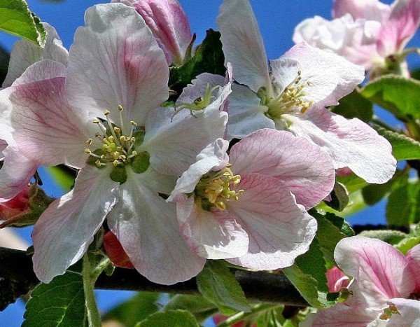 Apfelblüte 2015-27.jpg