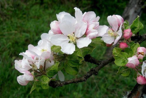 Apfelblüte 2015-30.jpg