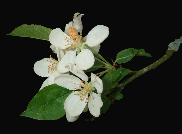 Apfelblüte 2015-11.jpg