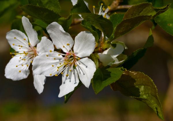 Apfelblüte 2015-16.jpg