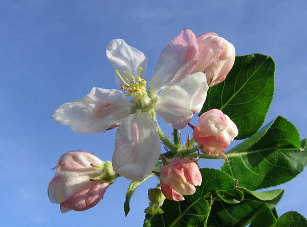 Apfelblüte 2015-19.jpg