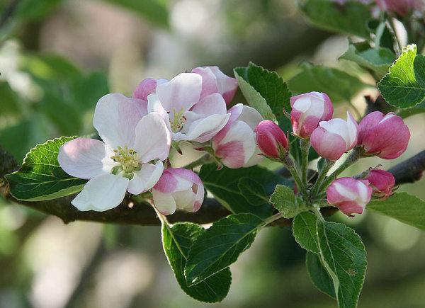 Apfelblüte 2015-20.jpg