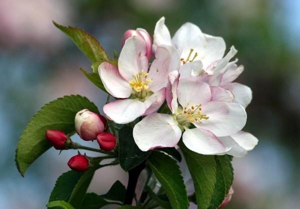 Apfelblüte 2015-21.jpg