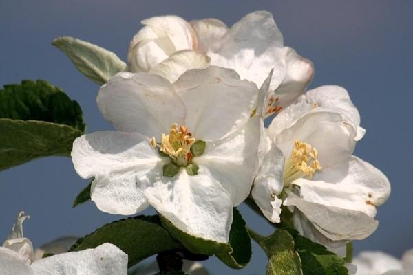 Apfelblüte 2015-22.jpg