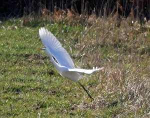 Weißreiher