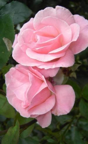 rose feierabend