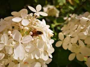 Biene auf einer Rispenhortensie