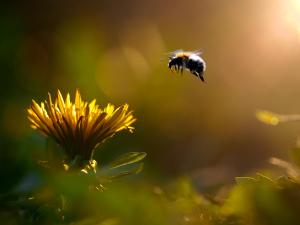 Biene steuert eine Blume an