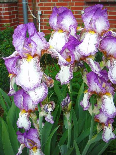 Schwertlilien lila weiß.jpg