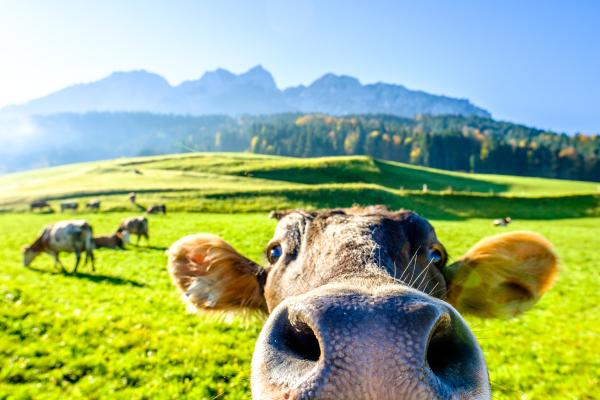 Kuh auf Almwiese schaut direkt in die Kamera