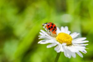 Marienkäfer auf Gänseblümchen