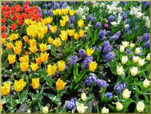 tulipanblütenteppich