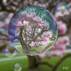 Magnolienbaum.jpg