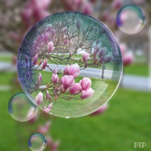 Magnolienblüten.jpg